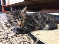 Фото: Ориентальная короткошёрстная : Котята 1,5 месяца разной расцветки, отдам в добрые руки