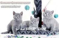 Британские голубые котята на продажу