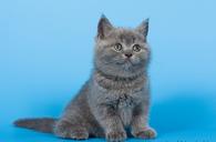 Купить британского котенка - девочку