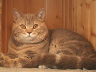 Шотландский прямоухий кот (скоттиш страйт) для вязки
