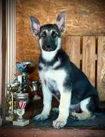 Фото: Восточно-европейская овчарка : Продаются щенки ВЕО с шикарной родословной РКФ от Чемпионов