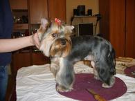 Стильные стрижки йоркам и другим собакам фото