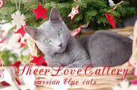 русские голубые котята Sheer Love от Чемпиона Мира WCF в Краснодаре