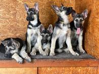 Фото: Ориентальная короткошёрстная : Продаются щенки ВЕО с шикарной родословной РКФ от Чемпионов