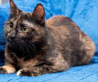 Фото: Ориентальная короткошёрстная : Молодая кошечка Джулия.