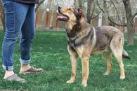 Фото: Ориентальная короткошёрстная : Греф молодой пес в добрые руки