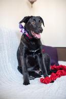 Фото: Лабрадор ретривер : Линси - щенок метис лабрадора в дар