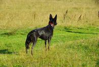Фото: Ориентальная короткошёрстная : Собака ищет новый дом