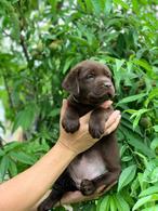 Фото: Лабрадор ретривер : Шоколадні лабрадори