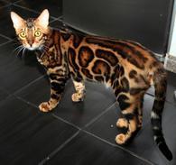 Фото: Бенгальская : Вязка с бенгальским котом