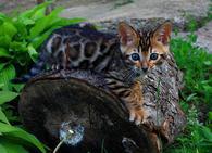 Фото: Ориентальная короткошёрстная : Продам бенгальских котят