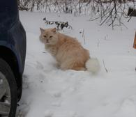 Фото: Ориентальная короткошёрстная : Мурзик в поисках своей семьи!