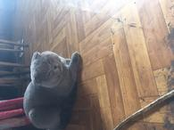 Фото: Скоттиш фолд (шотландская вислоухая) : кот на вязку