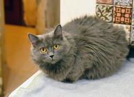 Фото: Ориентальная короткошёрстная : Великолепная кошечка Шанель ищет дом