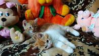 Фото: Ориентальная короткошёрстная : Солнечные пушистые ласковые котята (из персов) ищут заботливых хозяев