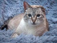 Добрейший ласковый тайский кот Умка