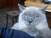 Шотландский прямоухий красавец кот ищет невесту, кошку для вязки в Киеве.