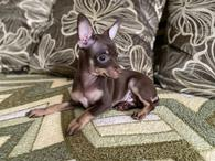 Фото: Ориентальная короткошёрстная : Той-терьер. Купить щенка. РКФ