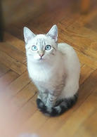 Фото: Тайская : Тайская кошечка в подарок.