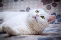 Ласковая белая британская кошка Лаура