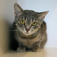 Фото: Ориентальная короткошёрстная : Кошечка Дымка ищет дом!