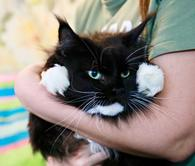 Фото: Ориентальная короткошёрстная : Баронесса - кошечка мейн-кун в дар.