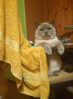 Фото: Скоттиш страйт (шотландская прямоухая) : Шотландский прямоухий красавец кот ищет невесту, кошку для вязки в Киеве.