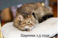Фото: Ориентальная короткошёрстная : Возьмите полосатую кошечку из приюта. Девочки очень ждут.