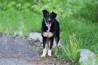 Фото: Ориентальная короткошёрстная : Отдам в хорошие руки сообразительную собаку Жанин