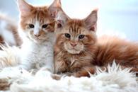 Фото: Мейн-кун : Котята Мейн Кун