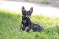 Фото: Ориентальная короткошёрстная : Отдам в хорошие руки щенка мальчика Соника