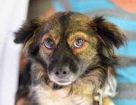 Фото: Американский бульдог : Пушистая собачка Лапка ищет хозяев!