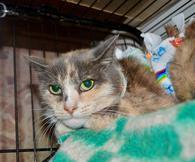 Фото: Ориентальная короткошёрстная : Трехцветная кошка Лара ищет дом.