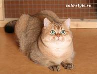Золотой тиккированный Британский кот для вязки