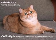 Фото - Золотой тиккированный Британский кот для вязки