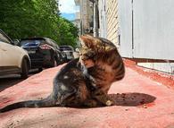 Фото: Ориентальная короткошёрстная : Срочно ищет дом бывшедомашний молодой котик