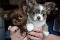 Фото: Чихуахуа : Чихуахуа щенки