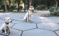 Фото: Стаффордширский бультерьер : Дрессировка собак  в Ялте