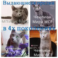 Фото: Русская голубая : русские голубые котята Sheer Love от Чемпиона Мира WCF в Краснодаре