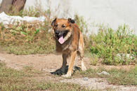 Фото: Западносибирская лайка : Отдам в хорошие руки пса Мухтар.