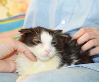 Фото: Ориентальная короткошёрстная : Юный любопытный котёнок Оззи в поисках дома.