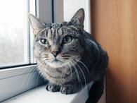 Фото: Американский бульдог : Кошечка Лаура ищет дом.