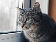 Фото: Западносибирская лайка : Кошечка Лаура ищет дом.