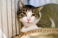 Матрешка - скромная кошечка ищет дом.