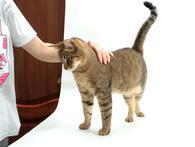 Фото: Ориентальная короткошёрстная : Мисс конгениальность, кошка Мира в дар