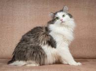 Фото: Ориентальная короткошёрстная : Молодой котик Федот ищет дом.