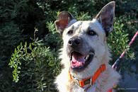 Фото: Ориентальная короткошёрстная : Обаятельный красавец Шумахер, молодой особенный пес для добрых людей