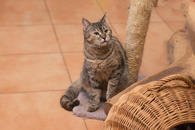 Фото: Американский бульдог : Отдам в хорошие руки молодую кошечку Рябинку.