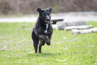 Фото: Ориентальная короткошёрстная : Отдам в хорошие руки молодую крупную, очень добрую собаку Ризи