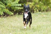 Фото: Ориентальная короткошёрстная : Отдам в хорошие руки молодую собачку Шейру